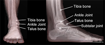 Parts of the ankle