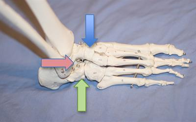 Three joints in the back of the foot